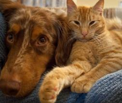 cat and dog - household pets calm and living in harmony